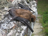 Bartholomew or Barty to his friends, is a bat who we only see if we walk when it is getting dark. He dances in the sky looking for insects to eat. We musn't hurt him as there are not many of them about.