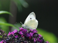 Beatrice is a butterfly with not many bright colours, which is a shame as some butterflies are very pretty with lots of colours. We see her a lot in our garden as she loves our Buddleia plant.