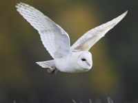 Ollie is a white owl who we see cruising over the field sometimes. We've also seen him flying back from the fishing lakes, where he probably had his tea!