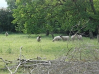 The Seven Sisters are sheep, and guess what ... there are seven of them! They live in a small field near the one we walk round, and we can see them from several parts of our walk. Whenever we walk past they all look up together and watch us go past, and this looks really funny.