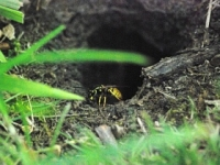 Stinger is a wasp who we met recently. He lives with his friends in a home that he has built .... underground! How cool is that? The home is on the edge of the field and whenever we go past we have to be very careful, as if he is unhappy he may sting us.