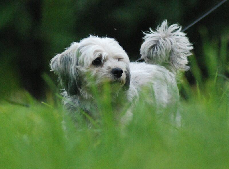 Misty, the Tibetan Terrier